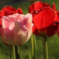 Как люблю красоту и блаженство тюльпанов… :: Татьянка *