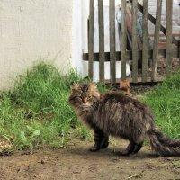 Соседский кот :: Сергей