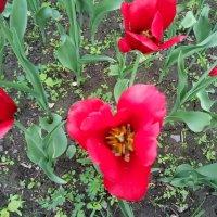 Красный-прекрасный... :: BoxerMak Mak