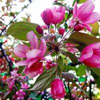 Яблони розовый цвет. :: Ирина