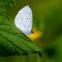 про бабочек 1 (голубянка) :: Александр Прокудин