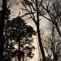 Зимний лес в лучах заката :: Черси Доллар