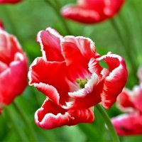 Тюльпаны! :: Евгений Яхим