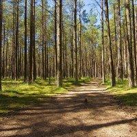 Сосновый лес на Куршской косе :: Lusi Almaz