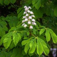 цветок каштана IMG_5950 :: Олег Петрушин