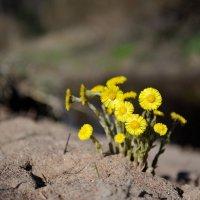 запоздалые первые цветы...(8 мая) :: Андрей Вестмит