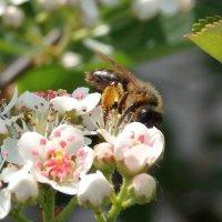 Пчела собирает нектар :: Александр Бойченко