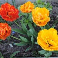 """Тюльпан махровый """"Double beauty of Apeldoorn"""" :: alexeevairina ."""