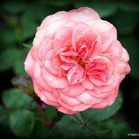 розовая роза :: Олег Лукьянов