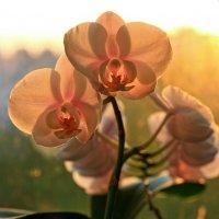 Солнечная орхидея :: Ирина Лесиканич