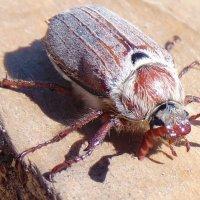 майский жук :: Юлия Ошуркова
