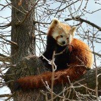 Красная панда :: Валентина Коряченцева