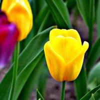 Желтые тюльпаны. :: Михаил Столяров