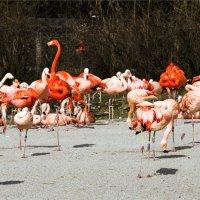 фламинго в пражском зоопарке :: Grigory Spivak