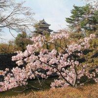 Мацумото. Сакура у крепостных стен замка. :: Виктория