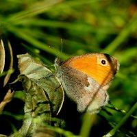 про бабочек - сенница 1 :: Александр Прокудин