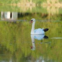 Лебедь в хорошем настроении на пруду биофабрики, п. Прогресс :: Дина Дробина