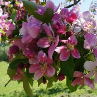 Май в Яблоневом саду :: Елена Павлова (Смолова)