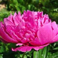 Время пионов.Розовый :: Лидия (naum.lidiya)