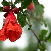 Цветок граната :: Светлана