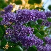 В Аптекарском огороде цветёт сирень... :: Ольга Русанова (olg-rusanowa2010)