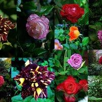 розы бывают разными... :: Александр Корчемный