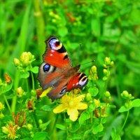 Бабочка павлиний глаз :: Константин Анисимов