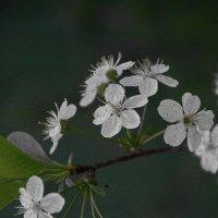 Цветы вишни :: san05 -  Александр Савицкий