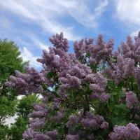 Голубое небо, майская сирень :: Николай Белавин