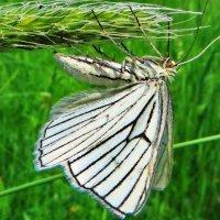 Пяденица белая линейчатаяПяденица линейчатая (Siona Lineata). Имеет размах крыльев 35-40 мм. :: vodonos241