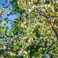 Цветущая яблоня. :: Андрей Гриничев