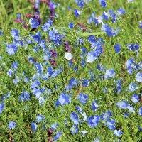 Голубой ситец полей. :: Лариса Исаева