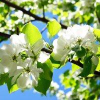 Нежность цветения :: Полина Потапова