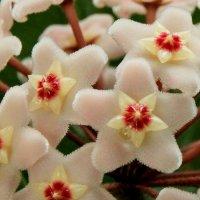хойя цветет :: leoligra