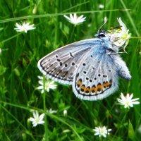 Голубянка-Идас :: vodonos241