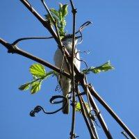 певунья в винограде :: наталия