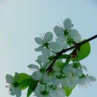 Ветка яблони :: san05   Александр Савицкий