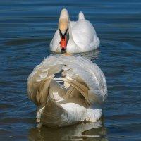 Лебедь, символ красоты :: Игорь Сикорский