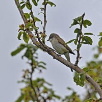 Славка завирушка.The lesser whitethroat :: Юрий Воронов