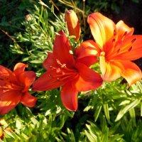 Дачные цветы :: Надежда