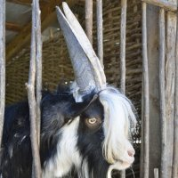 карачаевская овца (указано на загоне) :: Мария Климова
