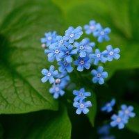 Маленькие голубые цветочки :: san05   Александр Савицкий
