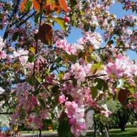 Цветут, сгорают яблони - все в розовом огне :: Елена Павлова (Смолова)