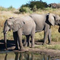 Национальный парк Этоша, Намибия :: Tatiana Belyatskaya