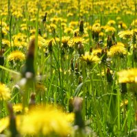 Поле...,жёлтое ..поле...)) :: tipchik