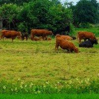 Коровы на лугу :: Nina Yudicheva