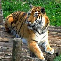 Голодный тигр :: Сергей Карачин