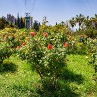 Сочинские розы :: Николай Николенко