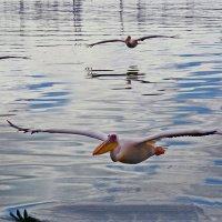 Пеликаны. :: Jakob Gardok