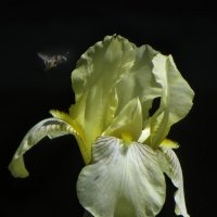 Ирис и пчелка. :: Nata